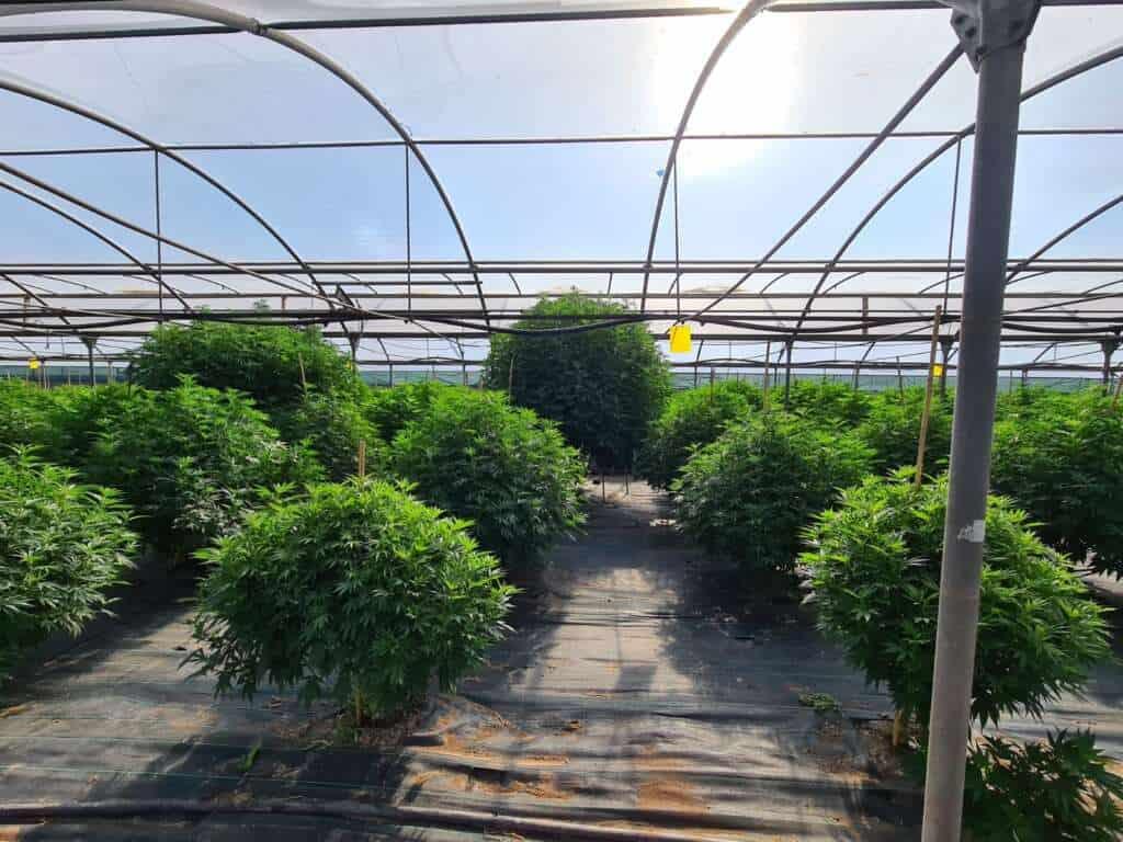 La produzione della cannabis light